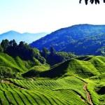 Continuăm să oferim spații generoase materiilor prime folosite în vending recunoscând de această dată importanța CEAIULUI. Scurt istoric Planta de ceai își are originile în partea de sud-est a Asiei,...