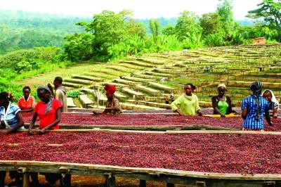 Organizația Internatională a Cafelei (ICO):  Prețurile la Cafeaua Robusta Scad la Minimul de acum 5 Ani și Jumătate