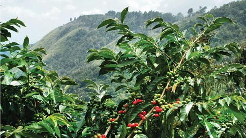 Cafeaua poate deveni un lux